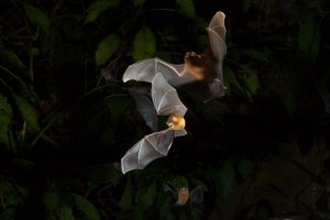 Natalus bat exiting cave in Trinidad by Miranda Collett