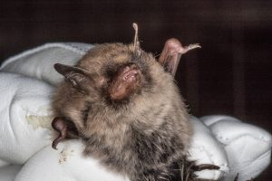 Myotis alcathoe by Miranda Collett