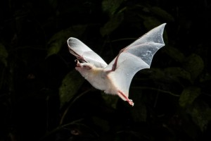 Anoura geoffroyi (albino) in flight by Miranda Collett