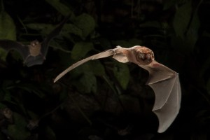 Mormoopidae in flight  by Miranda Collett