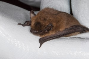 Common Pipistrelle at La Hague by Miranda