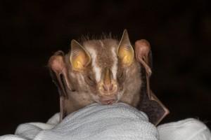 Platyrrhinus fusciventris  by Miranda Collett