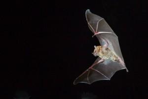 Carollia in flight by Miranda Collett