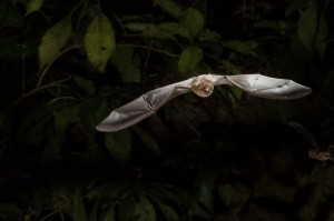 Pteronotus davyi by Miranda Collett